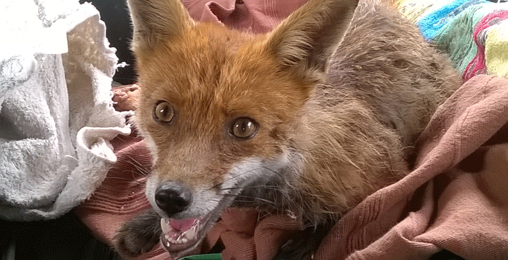 surrey fox control service